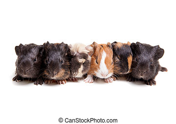 Group of 6 guinea pig babies isolated on a white background