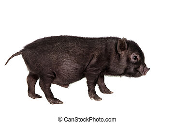 Black piggy isolated on white - Little black piggy isolated...