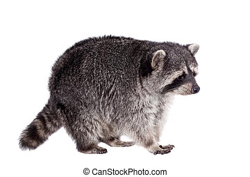 Raccoon, Procyon lotor, on the white background - Raccoon, 3...