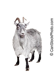 Goat Isolated On White - Portrait Of Goat Isolated On White...