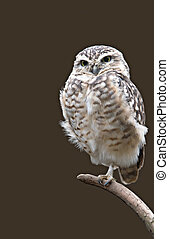Burrowing Owl isolated on a branch.
