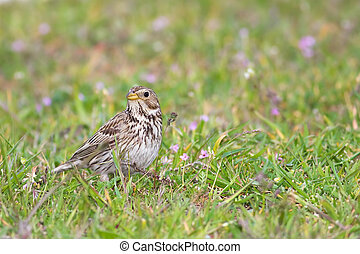 Corn bunting in the grass