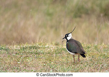 Lapwing in the field