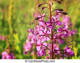 Wild flower of Willow-herb in the evening field - Willowherb...