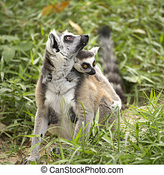 ring-tailed lemur with the small baby