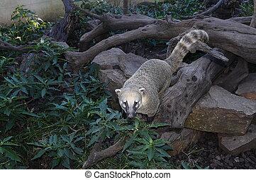 Portrait of a coati (raccoon) and vegetation
