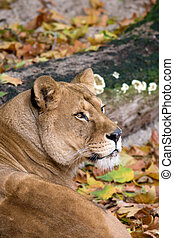 Lioness portrait in a zoo.