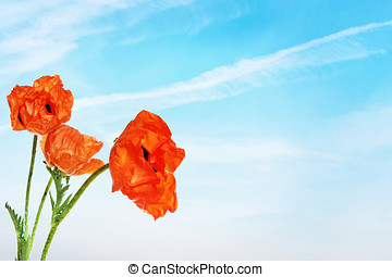 藍色, 天空, 針對, 明亮, 罌粟, 花, 紅色