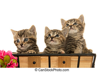 Three tabby kittens - Three cute baby tabby kittens in...