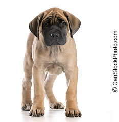 english mastiff puppy standing looking at viewer on white...