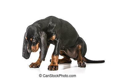 naughty puppy - black and tan coonhound with head dropped as...