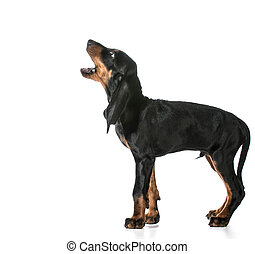 dog barking - black and tan coonhound barking isolated on...