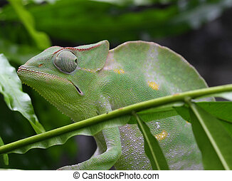 Green Chameleon camouflages itself in the midst of the green...