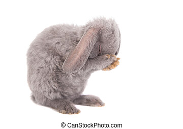 Grey lop-eared rabbit rex breed isolated on white