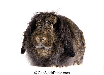 Lop-eared brown rabbit isolated on white background