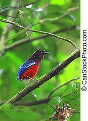 Garnet Pitta Erythropitta granatina in Taman Negara National...