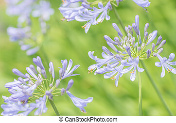 blue agapanthus - this photo is taken in Nagoya