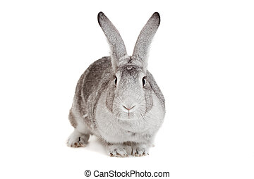 Big grey rabbit on a white - Big grey rabbit isolated on a...