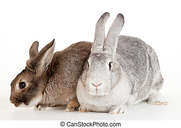 Two rabbits on a white background - Two rabbits isolated on...