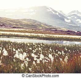 Arctic flowers - arctic cotton flowers