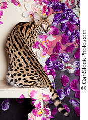 Beautiful serval, Leptailurus serval, with violet flowers