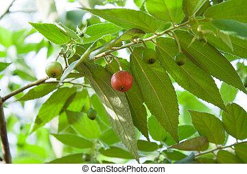 Flacourtia indica - Shrub or small tree. Leaves elliptic,...