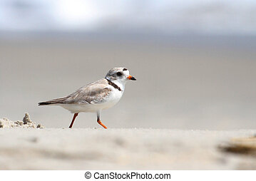 Endangered Piping Plover (Charadrius melodus)