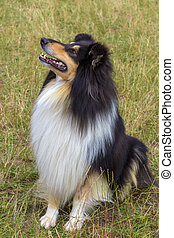 domestic dog Rough Collie breed