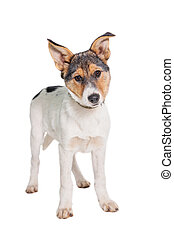 Mixed-breed puppy on white background - Mixed-breed puppy, 3...