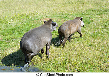 Lowland tapir (Tapirus terrestris) - Lowland or South...