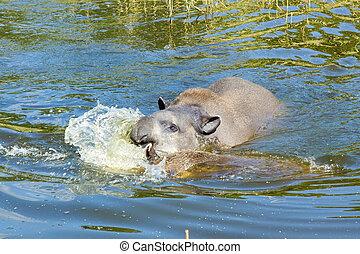 Lowland tapir (Tapirus terrestris) - Lowland or South...