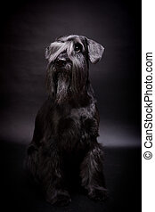 Miniature Schnauzer on black - Beauty Miniature Schnauzer on...