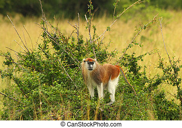 Patas Monkey Looking from raised Bush - A Patas monkey looks...