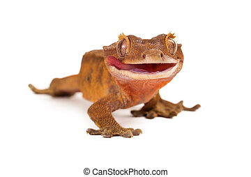 Crested Gecko Licking Lips - A funny crested gecko looking...