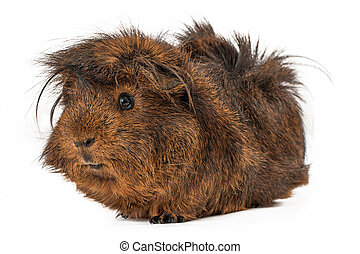 Peruvian Guinea Pig - A cute Peruvian Guinea Pig with long...