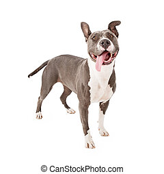 Playful Pit Bull Tongue Out - A young gray Pit Bull dog with...