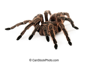 Rose Hair Tarantula - A large brown Rose Hair Tarantula...