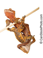 Two crested Geckos Hanging Out - Two crested geckos...