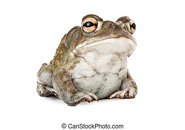 Sonoran Desert Toad - A cute Sonoran Desert Toad sitting...