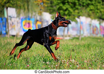 Black doberman running - Beauty black doberman running on...