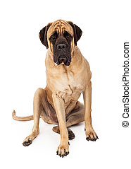 English Mastiff Sitting Serious Expression - A large English...