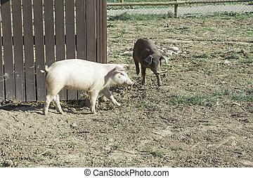 Pig Farm - Domestic farm pig grazing land, animal