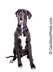 Black Great Dane on white - Black Great Dane isolated on...
