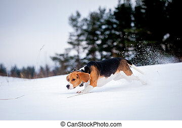 Smart beagle dog outdoor - Smart beagle dog, winter,...