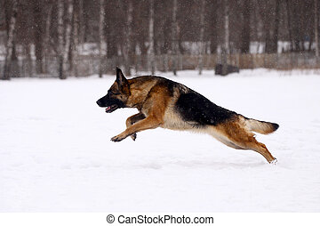 German Shepherd dog, running on the snow