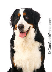 Bernese mountain dog on white - Bernese mountain dog, Berner...