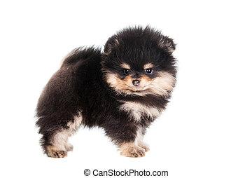 Miniature Spitz puppy on white - Miniature Spitz puppy...