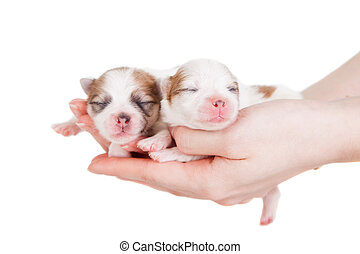 Cute Baby Puppies Being Held in Human Hands