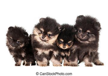 ENGRAÇADO, Pomeranian, Filhotes cachorro, Grupo