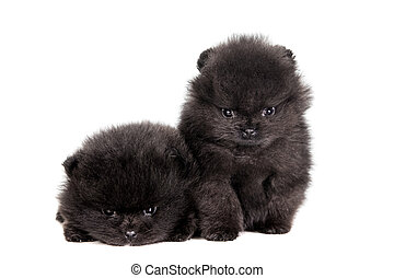 Two Pomeranian Puppies on white - Two Pomeranian Puppies,...